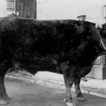 Truro Primestock Historic Cattle