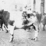 Truro Primestock Historic Cattle Photo